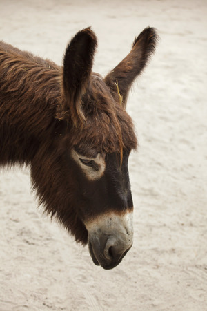 Poitou donkey (Equus asinus asinus), also known as the Poitevin donkey. Banco de Imagens