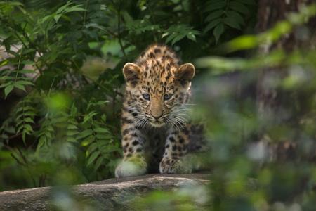 Three-month-old Amur leopard (Panthera pardus orientalis). Banco de Imagens