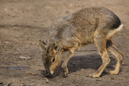 Patagonian mara (Dolichotis patagonum), also known as the Patagonian cavy. Imagens