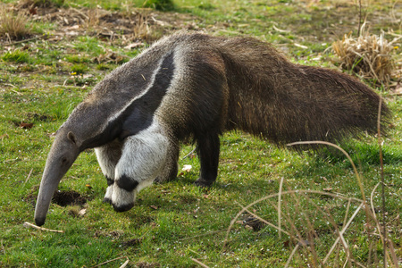 Giant anteater (Myrmecophaga tridactyla), also known as the ant bear. Stock Photo