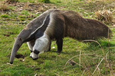 Oso hormiguero gigante (Myrmecophaga tridactyla), también conocido como oso hormiguero.