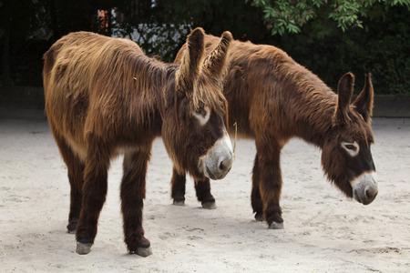 Poitou donkey (Equus asinus asinus), also known as the Poitevin donkey. Imagens