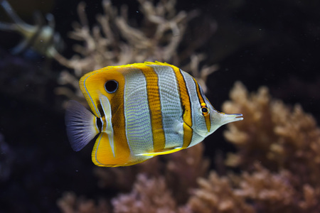 Copperband butterflyfish (Chelmon rostratus). Tropical fish.