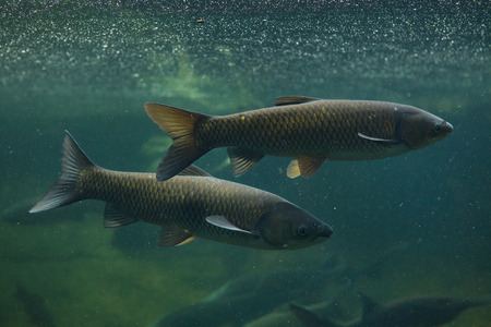 Grass carp (Ctenopharyngodon idella). Freshwater fish. Banque d'images