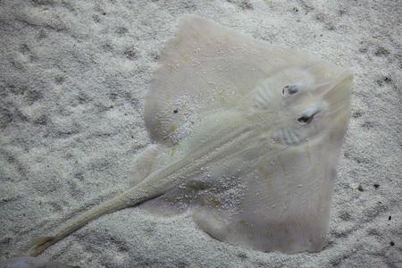 Undulate ray (Raja undulata). Mediterranean fish. Stock Photo