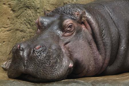 Hippopotamus (Hippopotamus amphibius). Wild life animal.
