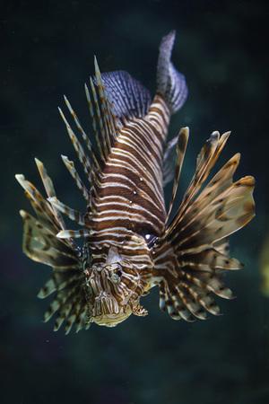 Red lionfish (Pterois volitans). Tropical fish.