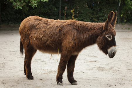 Poitou donkey (Equus asinus asinus), also known as the Poitevin donkey. Banco de Imagens - 117081215