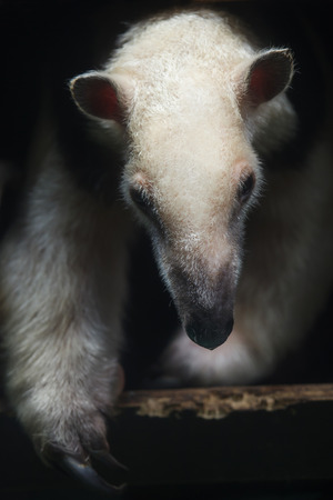 Southern tamandua (Tamandua tetradactyla), also known as the collared anteater or lesser anteater. Standard-Bild - 117081485