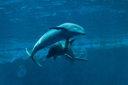 Common bottlenose dolphins (Tursiops truncatus). 版權商用圖片
