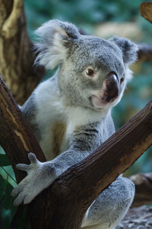 Queensland koala (Phascolarctos cinereus adustus).
