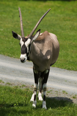 Gemsbok (Oryx gazella gazella), also known as the Southern oryx. Фото со стока