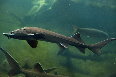 Siberian sturgeon (Acipenser baerii). Freshwater fish. Stockfoto