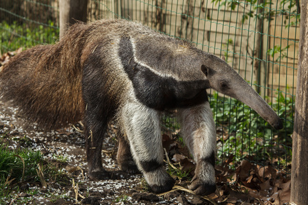 Giant anteater (Myrmecophaga tridactyla), also known as the ant bear. Imagens