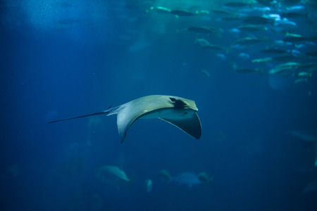 Common eagle ray (Myliobatis aquila). Marine fish.