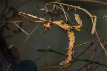 Giant prickly stick insect (Extatosoma tiaratum), also known as the Australian walking stick.