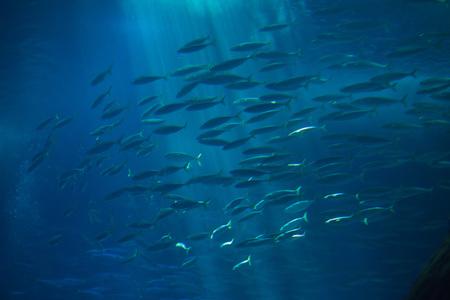 Caballa del Atlántico (Scomber colias). Foto de archivo