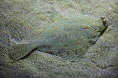 European plaice (Pleuronectes platessa), also known as the common plaice. Banque d'images