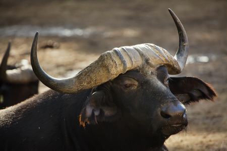 Cape buffalo (Syncerus caffer caffer), commonly known as the African buffalo. Reklamní fotografie
