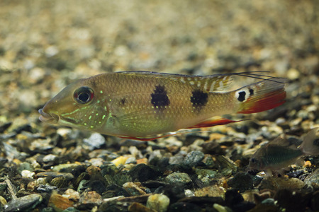 Threespot eartheater (Satanoperca daemon), also known as the spotted demonfish.
