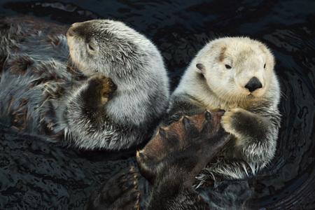 Sea otters (Enhydra lutris) swimming in the sea. 免版税图像