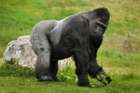 Western lowland gorilla (Gorilla gorilla gorilla). Wild life animal. Banque d'images