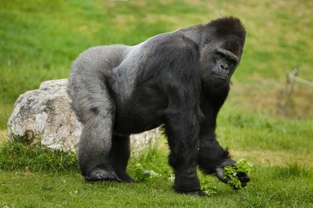 Westlicher Flachlandgorilla (Gorilla gorilla gorilla). Wildes Tier. Standard-Bild