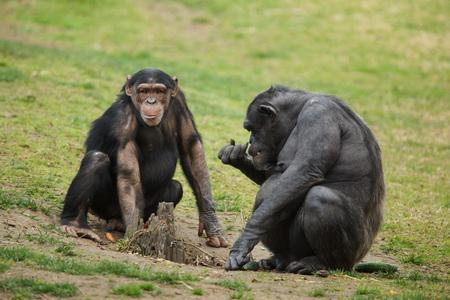 Common chimpanzee (Pan troglodytes), also known as the robust chimpanzee.