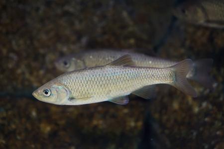 Southern Iberian chub (Squalius pyrenaicus). Freshwater fish.