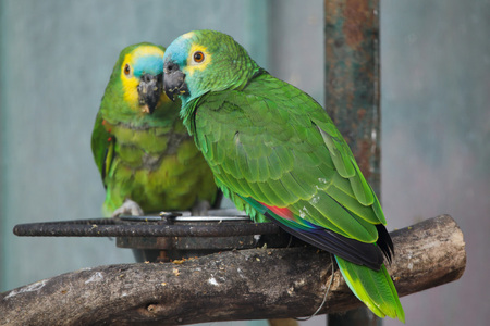 Turquoise-fronted amazon (Amazona aestiva), also known as the blue-fronted parrot. Stok Fotoğraf
