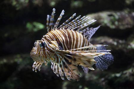 Red lionfish (Pterois volitans). Tropical venomous fish.