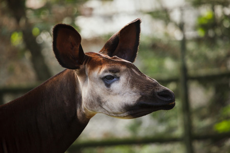 Okapi (Okapia johnstoni). Wild life animal.