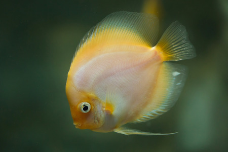 Brown discus (Symphysodon aequifasciatus), also known as the blue discus.