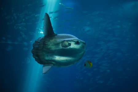 Ocean sunfish (Mola mola), also known as the common mola.