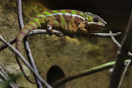 Panther chameleon (Furcifer pardalis). Wildlife animal.