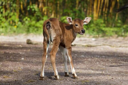Newborn Javan banteng (Bos javanicus), also known as the tembadau.
