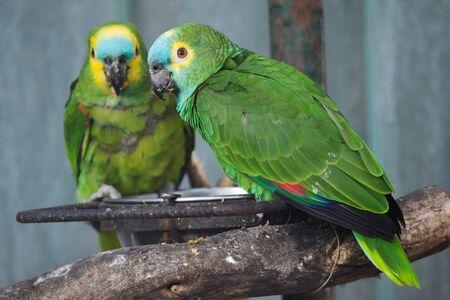 Türkis-fronted Amazon (Amazona aestiva), auch bekannt als der Blaustirnpapagei.