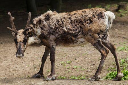 Domestic reindeer (Rangifer tarandus f. domestica), also known as the domestic caribou.
