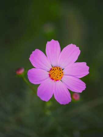 Beautiful Cosmos flower in the garden 写真素材