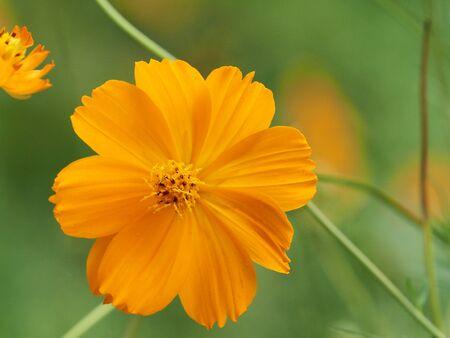 Beautiful Cosmos flower in the garden