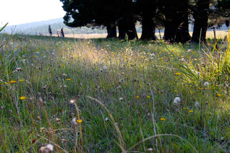 Field with grasses and dandelions in summer