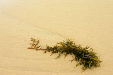 Kelp washed up on the beach