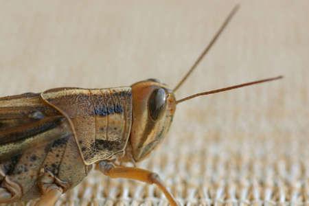 Grasshopper or Cricket Macro