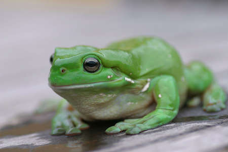 A green Treen Frog Stock Photo
