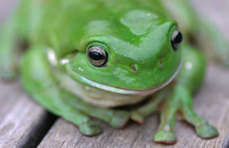 Close Up of Green Tree Frog Stock Photo