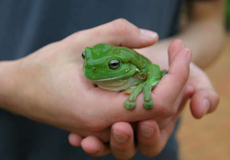 Green Tree Frog in Caring Hands Stock Photo