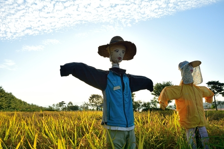 birds scenery: Scarecrow is to let the birds eat grain rice field installation. Editorial