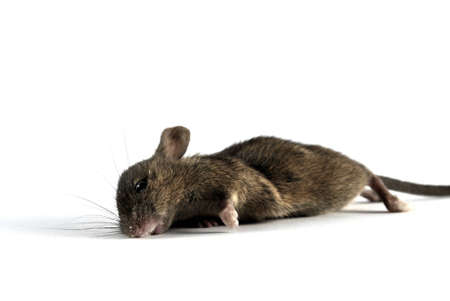 dead animal: Dead mouse, isolated on white background Stock Photo