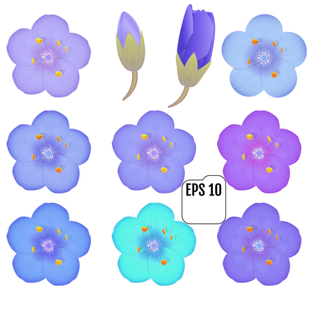 colorful primula flowers isolated. Vector