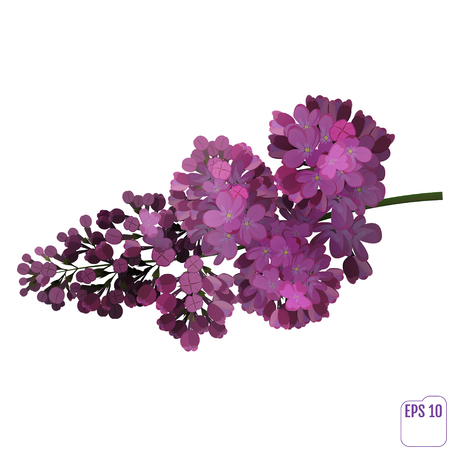 Spring flower, twig purple lilac. Syringa vulgaris. Buds and lush inflorescences of lilacs. Vector Illustration